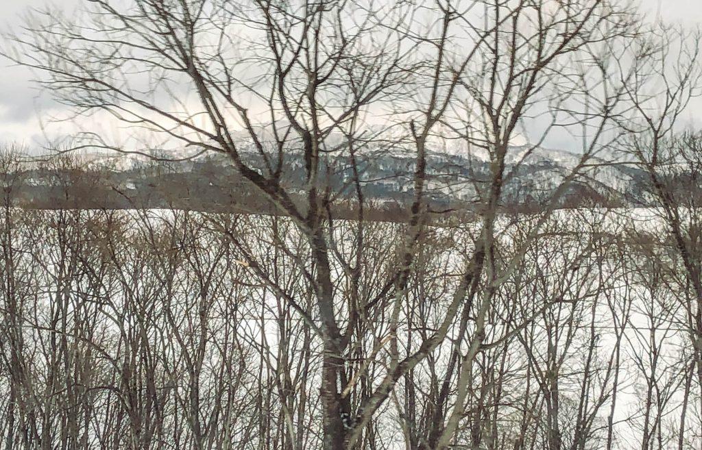 北緯45度線周辺の道産木(ダケカンバ)